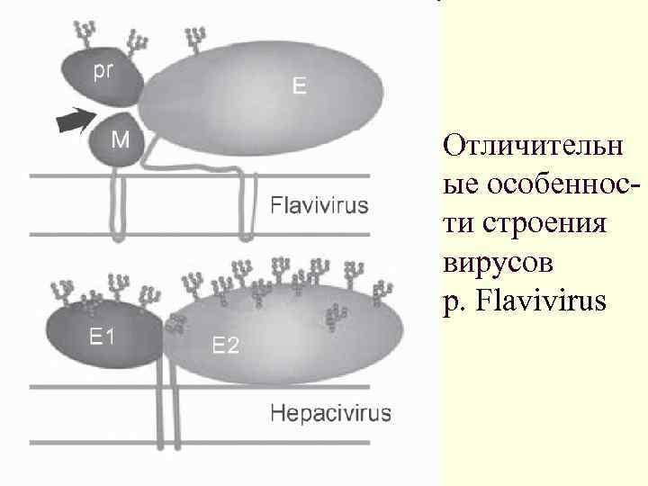 Отличительн ые особенности строения вирусов p. Flavivirus