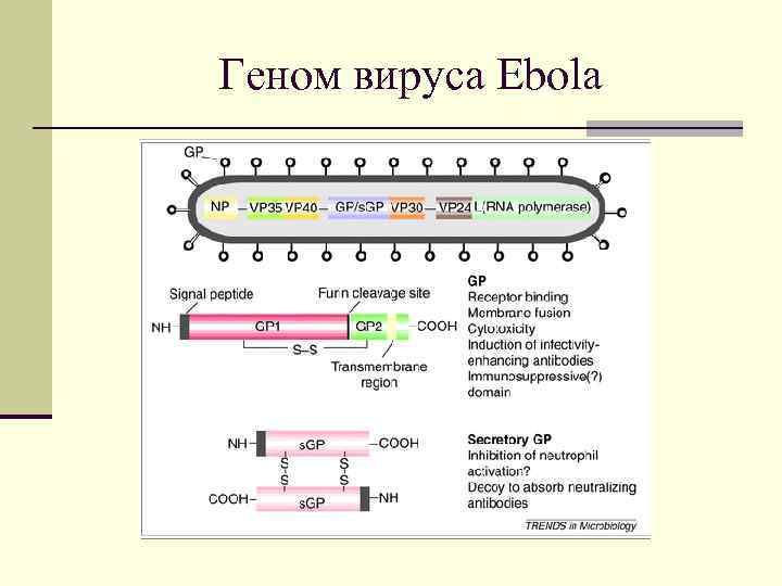 Геном вируса Ebola