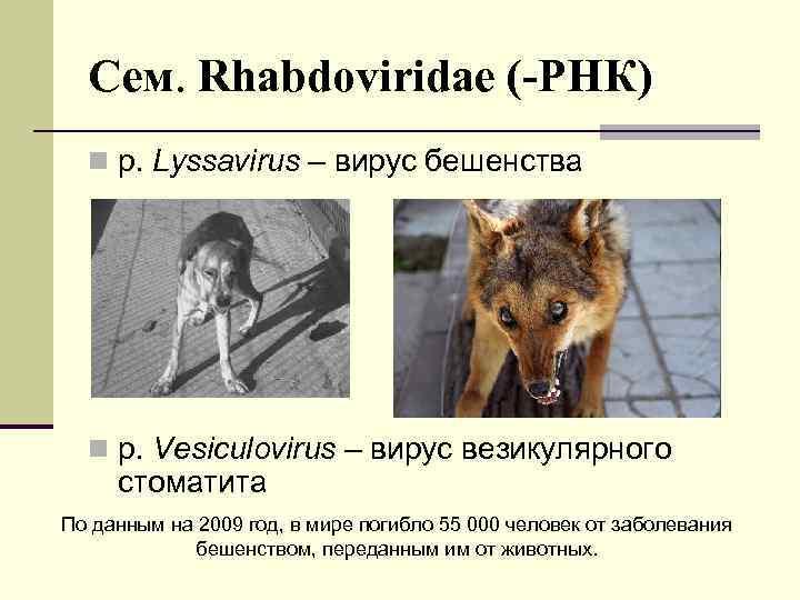Сем. Rhabdoviridae (-РНК) n р. Lyssavirus – вирус бешенства n р. Vesiculovirus – вирус