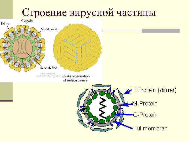 Строение вирусной частицы