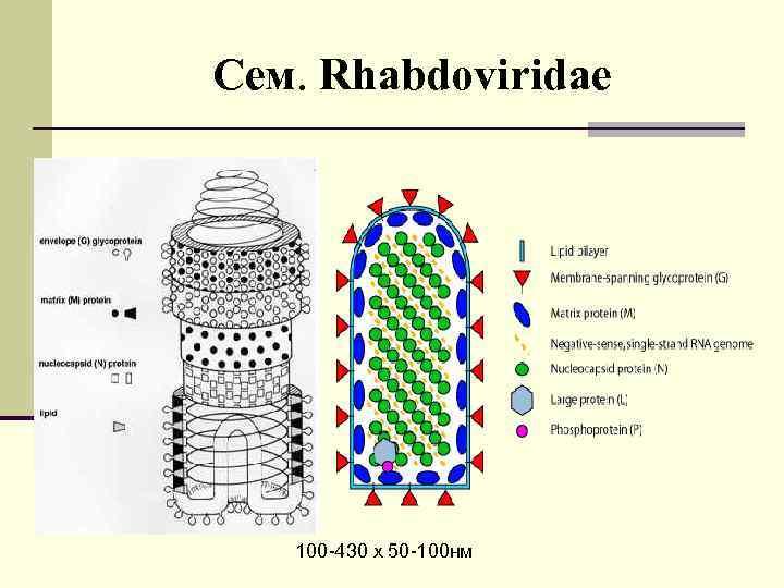 Сем. Rhabdoviridae 100 -430 х 50 -100 нм