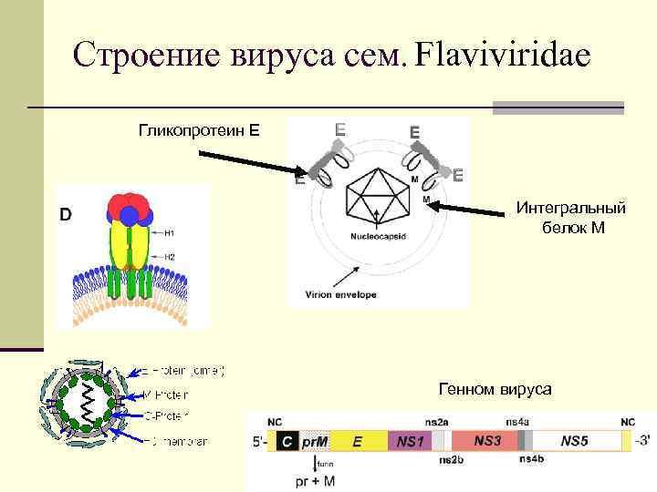 Строение вируса сем. Flaviviridae Гликопротеин Е Интегральный белок М Генном вируса