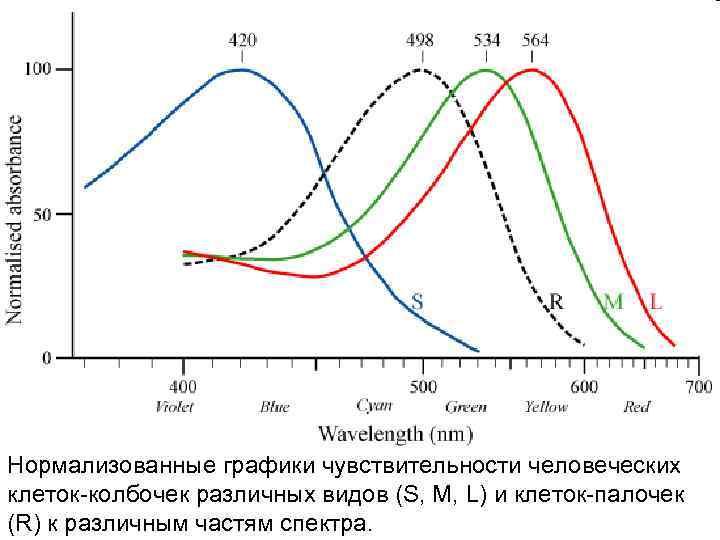 Нормализованные графики чувствительности человеческих клеток-колбочек различных видов (S, M, L) и клеток-палочек (R) к