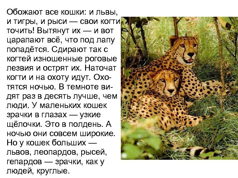 Обожают все кошки: и львы, и тигры, и рыси — свои когти точить! Вытянут