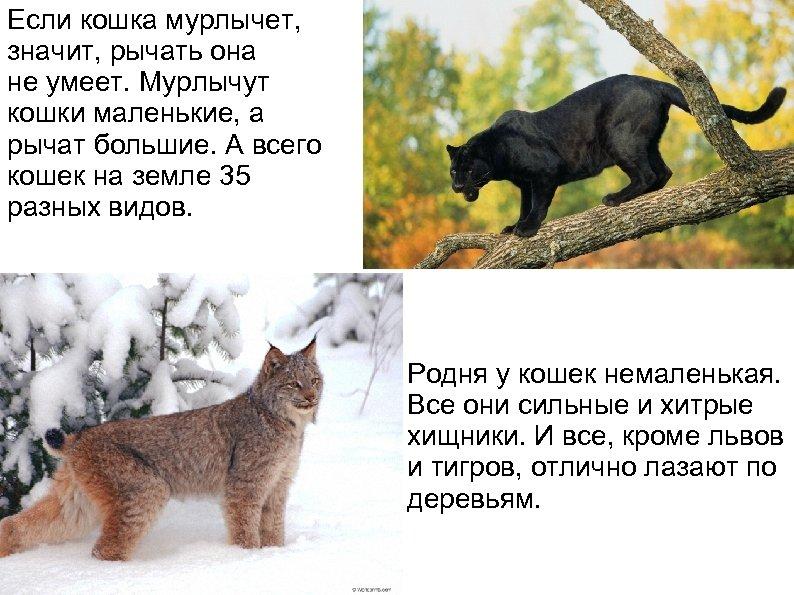 Если кошка мурлычет, значит, рычать она не умеет. Мурлычут кошки маленькие, а рычат большие.