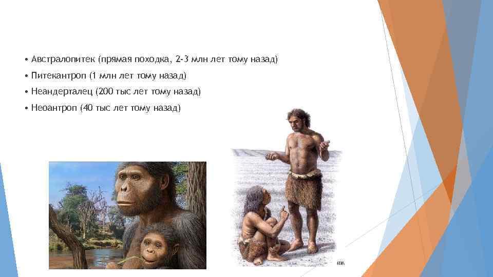 • Австралопитек (прямая походка, 2 -3 млн лет тому назад) • Питекантроп (1