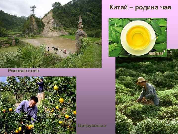 Китай – родина чая Рисовое поле Цитрусовые