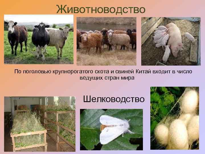Животноводство По поголовью крупнорогатого скота и свиней Китай входит в число ведущих стран мира