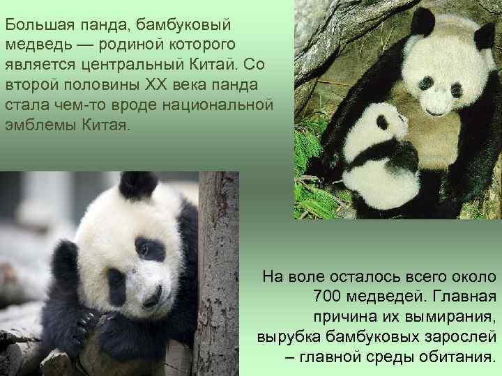 Большая панда, бамбуковый медведь — родиной которого является центральный Китай. Со второй половины XX
