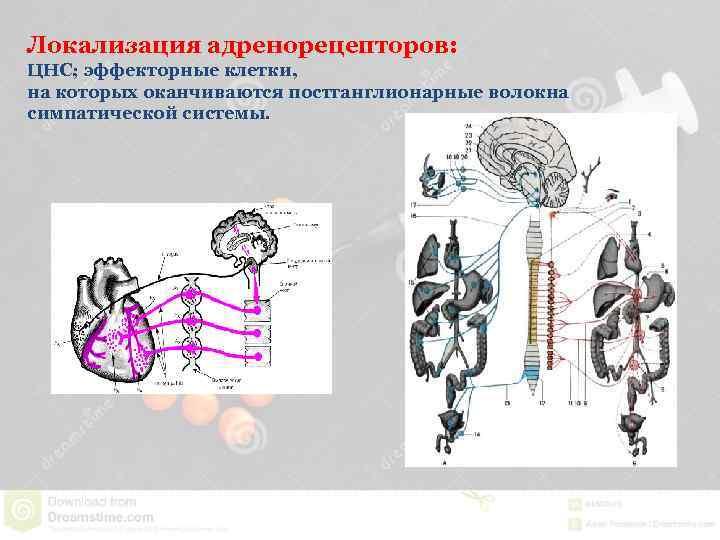 Локализация адренорецепторов: ЦНС; эффекторные клетки, на которых оканчиваются постганглионарные волокна симпатической системы.