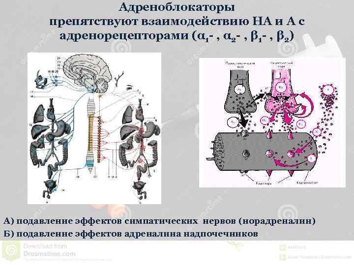 Адреноблокаторы препятствуют взаимодействию НА и А с адренорецепторами (α 1 - , α 2