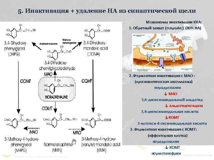 5. Инактивация + удаление НА из синаптической щели Механизмы инактивации КХА: 1. Обратный захват