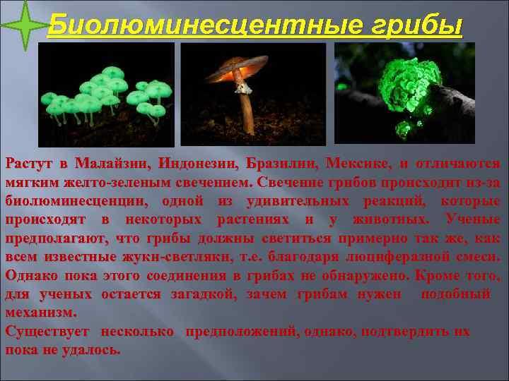 Биолюминесцентные грибы Растут в Малайзии, Индонезии, Бразилии, Мексике, и отличаются мягким желто-зеленым свечением. Свечение