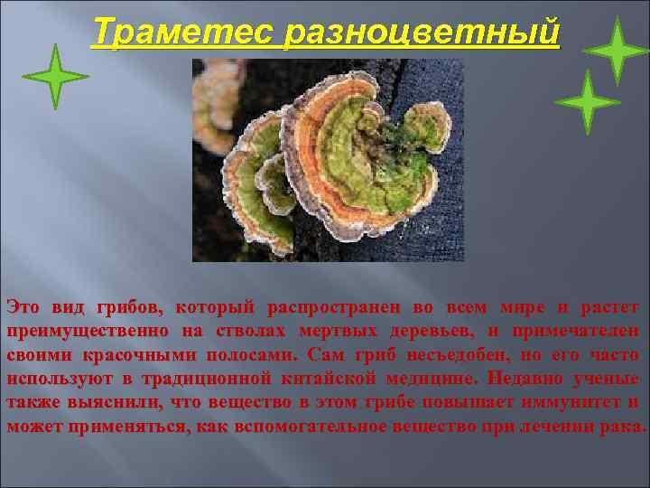 Траметес разноцветный Это вид грибов, который распространен во всем мире и растет преимущественно на
