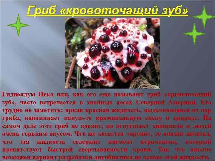 Гриб «кровоточащий зуб» Гиднеллум Пека или, как его еще называют гриб «кровоточащий зуб» ,