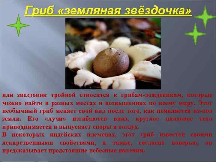 Гриб «земляная звёздочка» или звездовик тройной относится к грибам-дождевикам, которые можно найти в разных