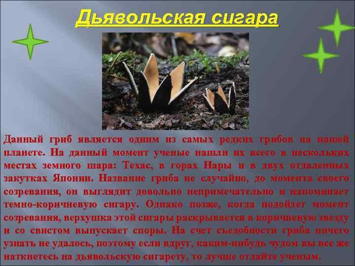 Дьявольская сигара Данный гриб является одним из самых редких грибов на нашей планете. На