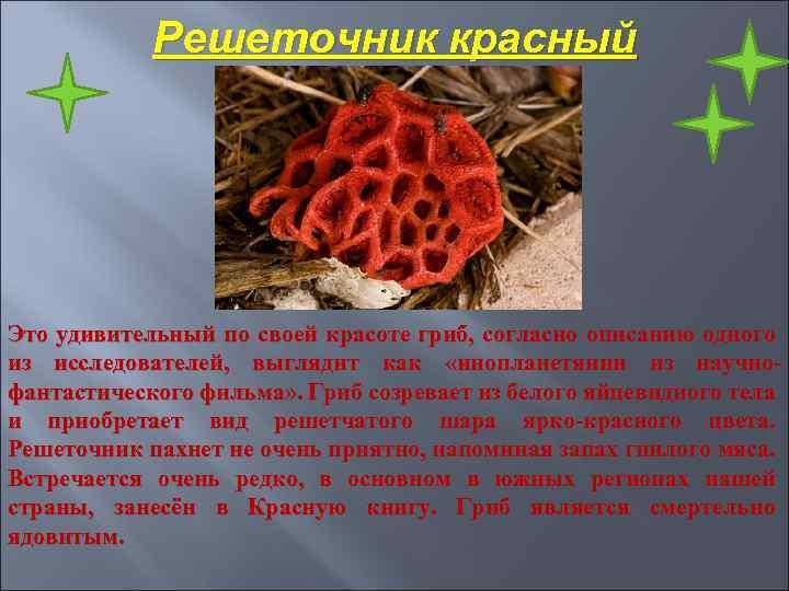 Решеточник красный Это удивительный по своей красоте гриб, согласно описанию одного из исследователей, выглядит