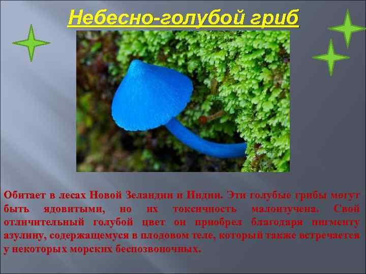 Небесно-голубой гриб Обитает в лесах Новой Зеландии и Индии. Эти голубые грибы могут быть