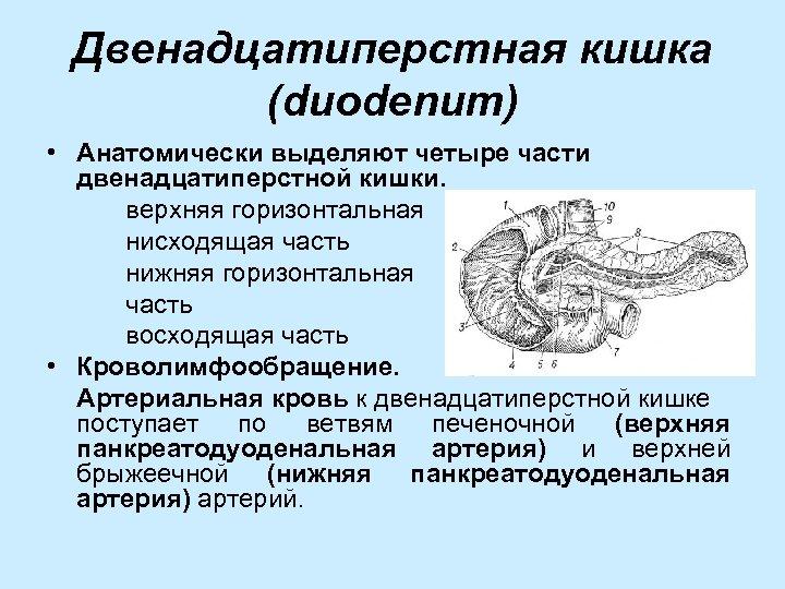Двенадцатиперстная кишка (duodenum) • Анатомически выделяют четыре части двенадцатиперстной кишки. верхняя горизонтальная нисходящая часть
