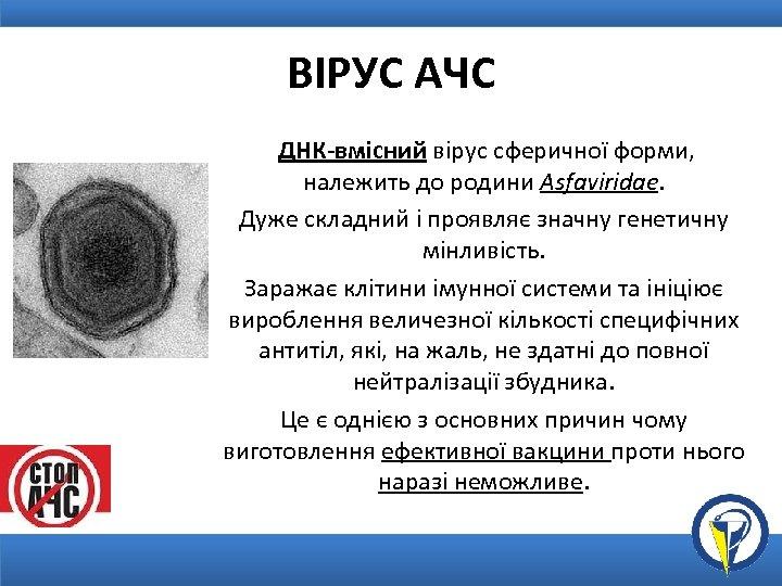 ВІРУС АЧС ДНК-вмісний вірус сферичної форми, належить до родини Asfaviridae. Дуже складний і проявляє