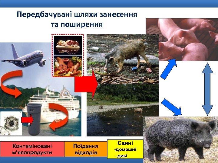 Передбачувані шляхи занесення та поширення Контаміновані м'ясопродукти Поїдання відходів Свині -домашні -дикі
