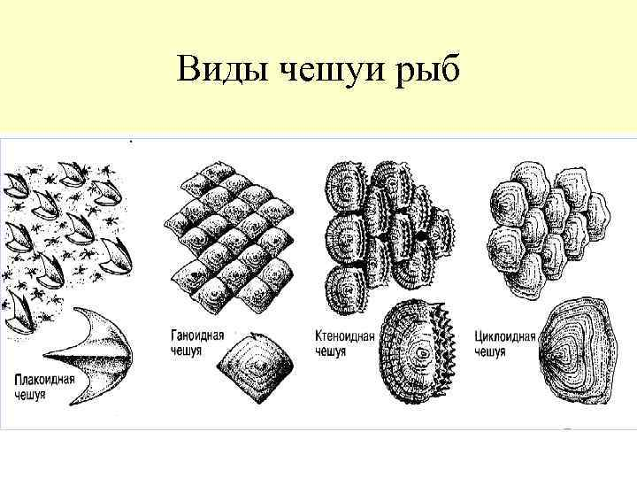 виды чешуи рыб картинки участие