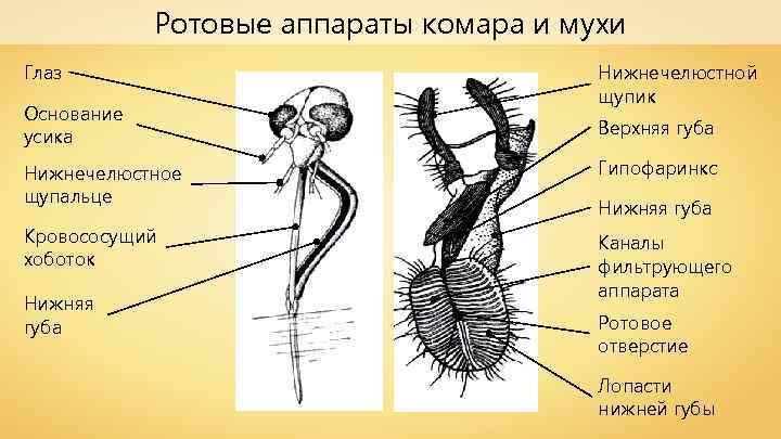 Ротовые аппараты комара и мухи Глаз Основание усика Нижнечелюстной щупик Верхняя губа Нижнечелюстное щупальце