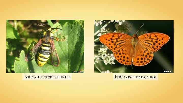 Rosenzweig Sergey M. Sazhin Бабочка-стеклянница Бабочка-геликонид