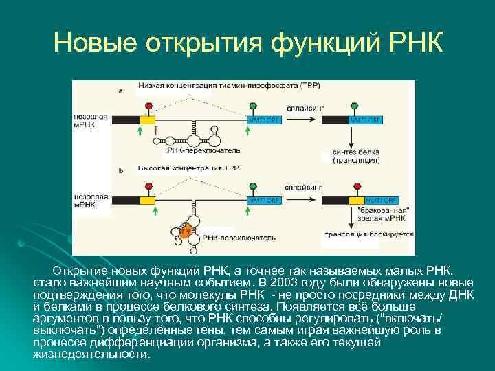 Новые открытия функций РНК Открытие новых функций РНК, а точнее так называемых малых РНК,
