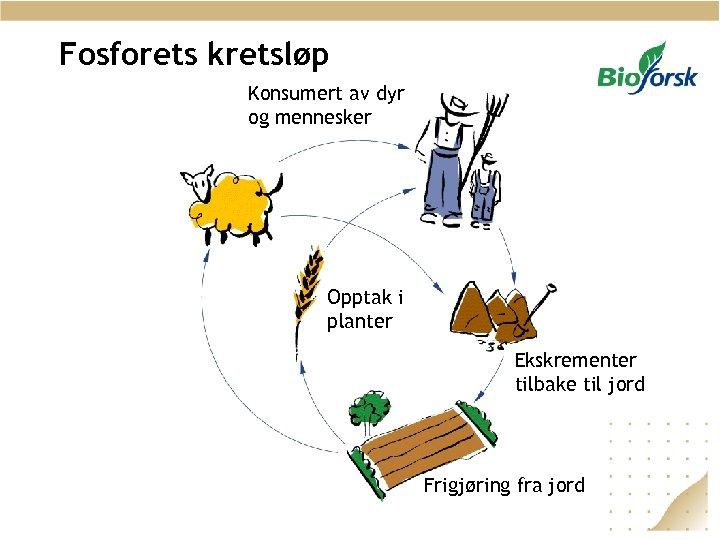 Fosforets kretsløp Konsumert av dyr og mennesker Opptak i planter Ekskrementer tilbake til jord