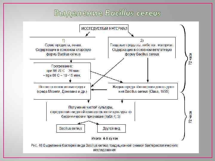 Выделение Bacillus cereus