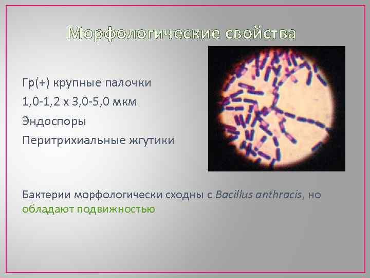 Морфологические свойства Гр(+) крупные палочки 1, 0 -1, 2 х 3, 0 -5, 0