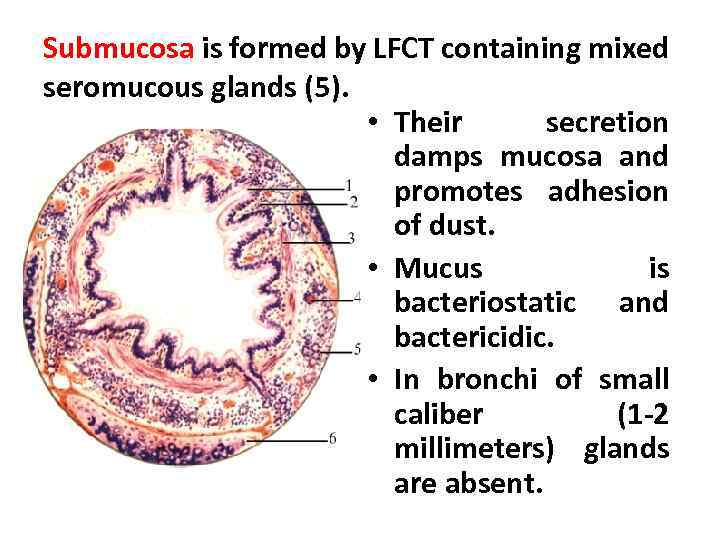 Submucosa is formed by LFCT containing mixed seromucous glands (5). • Their secretion damps