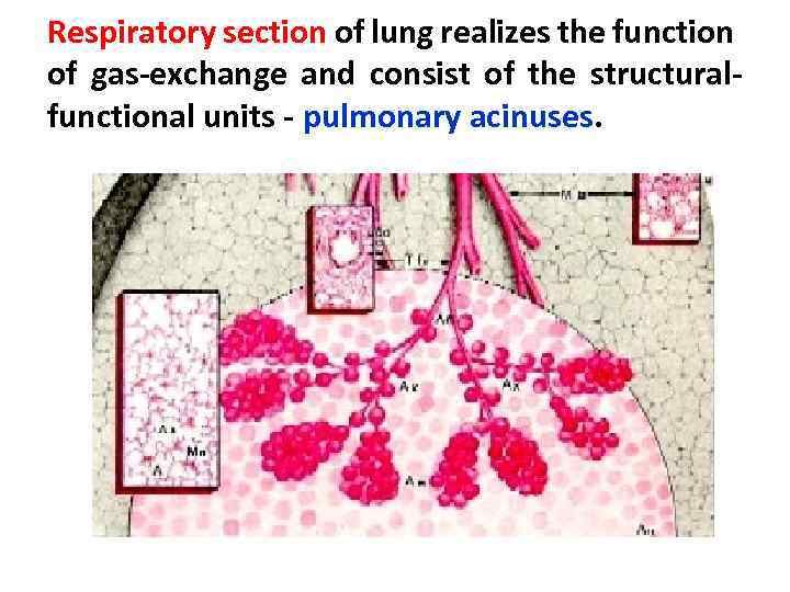 Respiratory section of lung realizes the function of gas-exchange and consist of the structuralfunctional