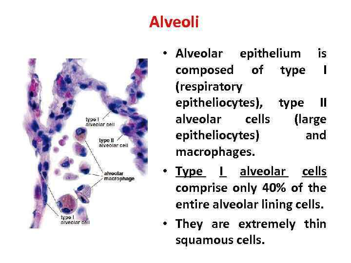 Alveoli • Alveolar epithelium is composed of type I (respiratory epitheliocytes), type II alveolar