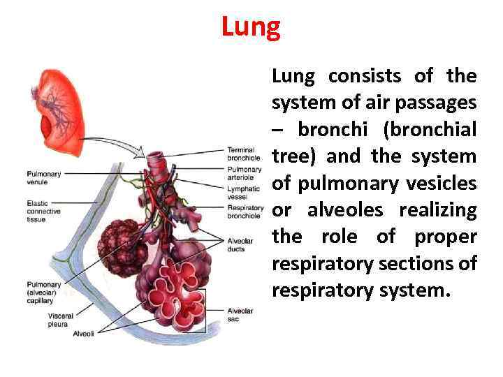 Lung • Lung consists of the system of air passages – bronchi (bronchial tree)
