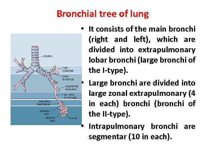 Bronchial tree of lung • It consists of the main bronchi (right and left),