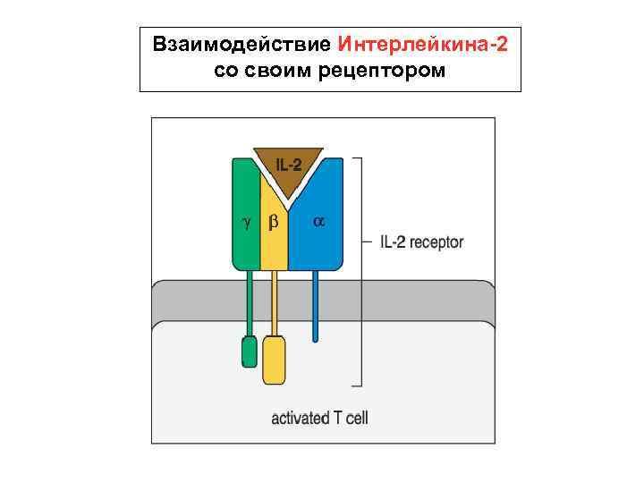 Взаимодействие Интерлейкина-2 со своим рецептором