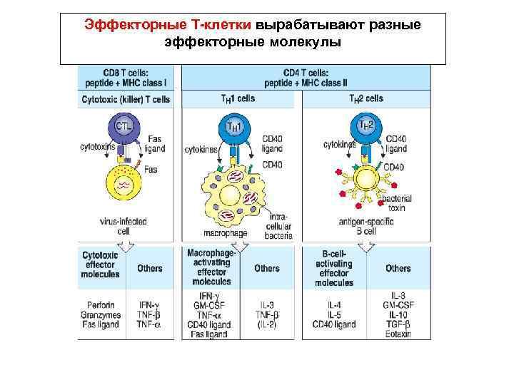 Эффекторные Т-клетки вырабатывают разные эффекторные молекулы