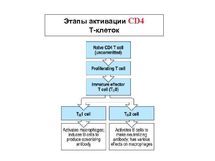 Этапы активации CD 4 Т-клеток