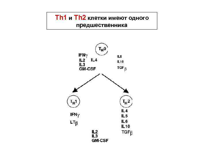 Th 1 и Th 2 клетки имеют одного предшественника