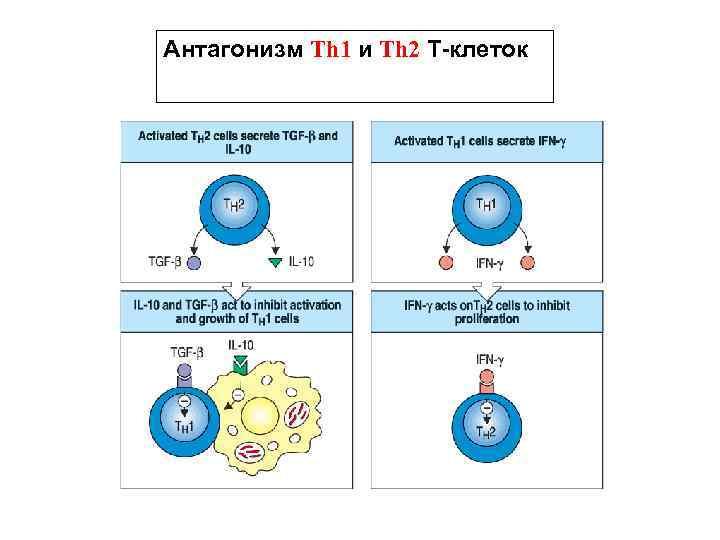 Антагонизм Th 1 и Th 2 Т-клеток