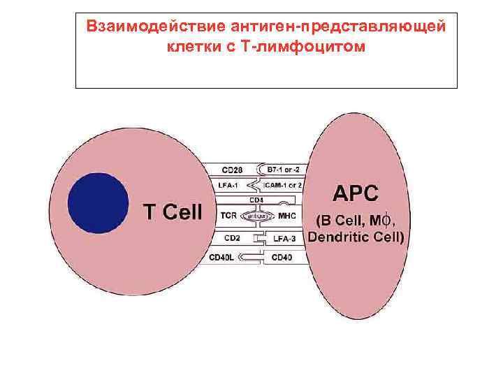 Взаимодействие антиген-представляющей клетки с Т-лимфоцитом