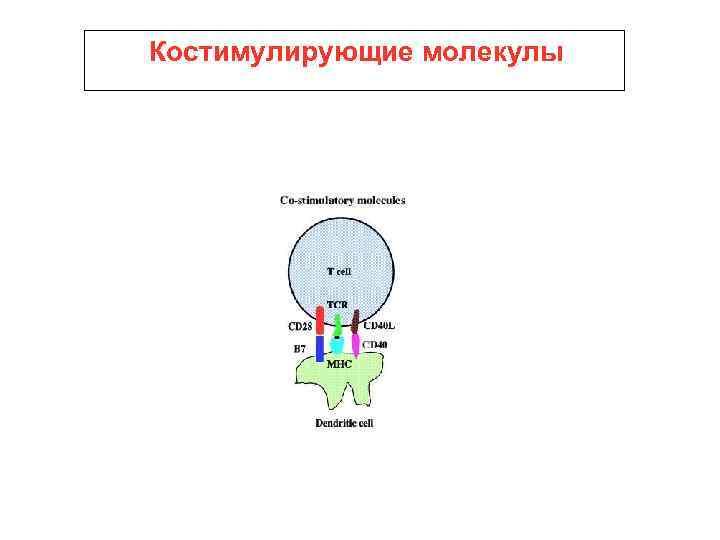 Костимулирующие молекулы