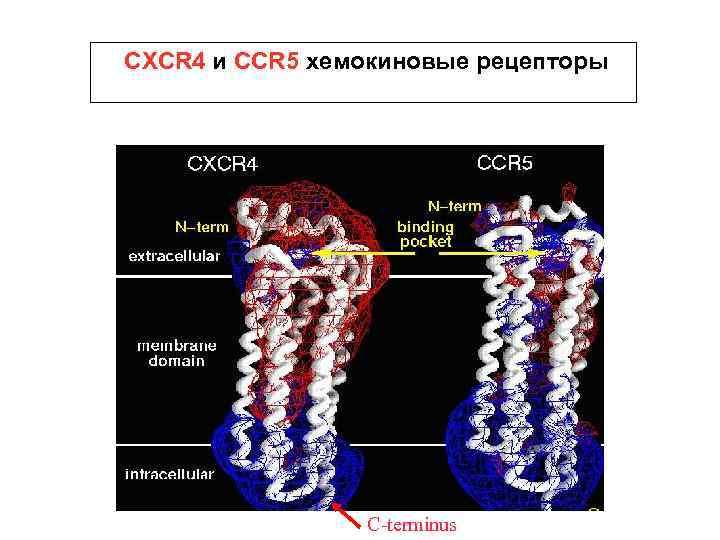 CXCR 4 и CCR 5 хемокиновые рецепторы C-terminus
