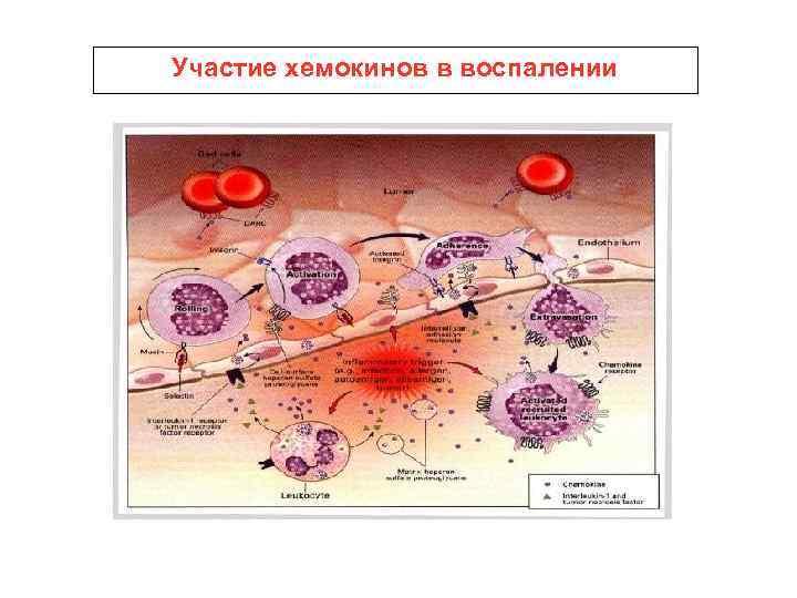 Участие хемокинов в воспалении
