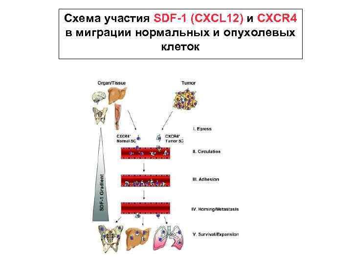 Схема участия SDF-1 (CXCL 12) и CXCR 4 в миграции нормальных и опухолевых клеток