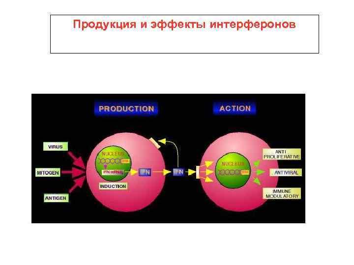 Продукция и эффекты интерферонов