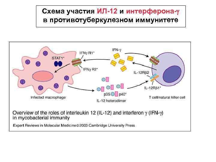 Схема участия ИЛ-12 и интерферона-g в противотуберкулезном иммунитете